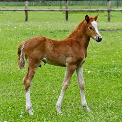 Horse scale Agreto